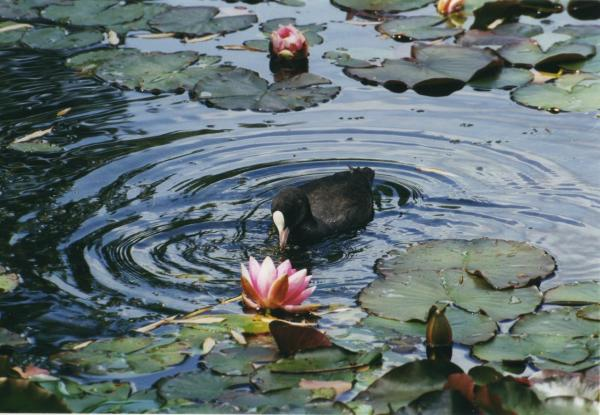 Coot and waterlily