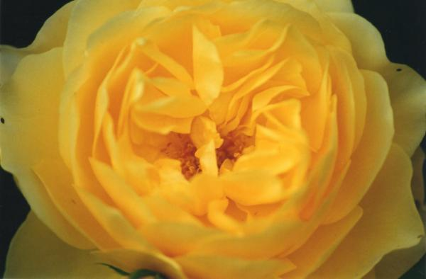 Yellow Rose heart