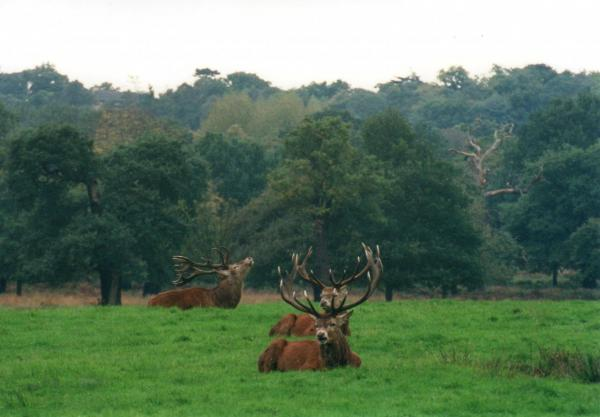 Deer on rut (RIchmond Pk)