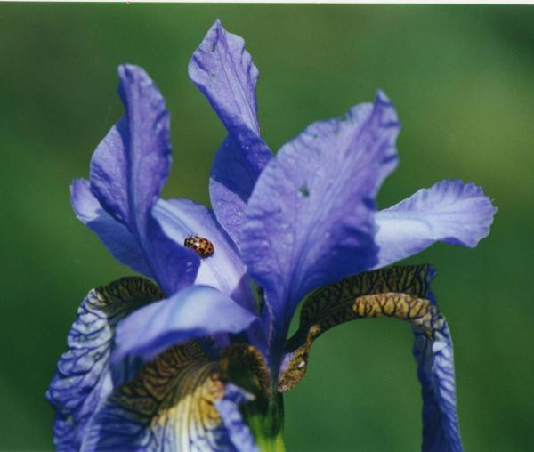 Ladybird on iris